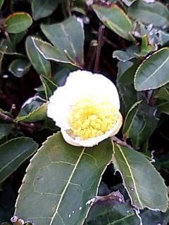 茶の花は白いんだぜって