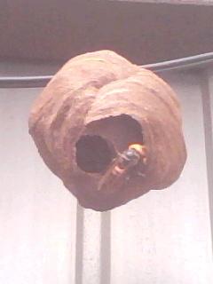 蜂の巣:もうこんなに!