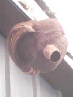 蜂の巣:虎目