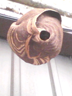 蜂の巣:日々変化してるので