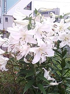 白いカサブランカ